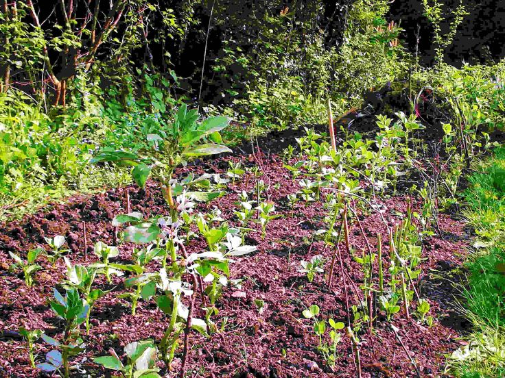 Broad Beans coming up in staggered sewings: 29.4.14.