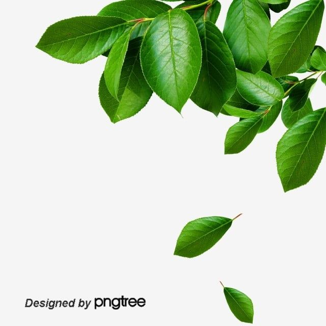 Green Leaves Green Leaf Leaves Png Transparent Clipart Image And Psd File For Free Download Green Leaves Leaves Autumn Leaves Background