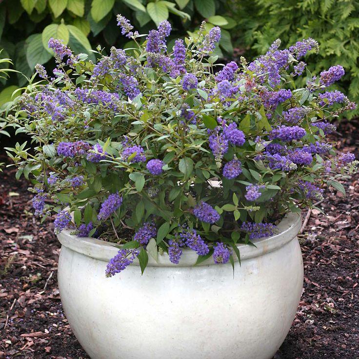 Buddleja 'Blue Chip' (Large Plant) - Shrubs & Roses - Thompson & Morgan