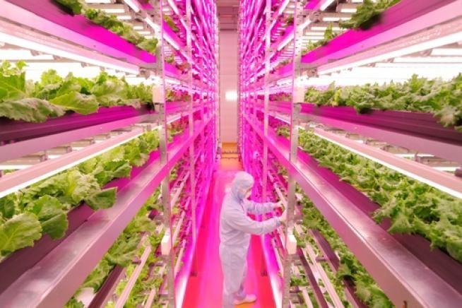 Giappone, la lattuga si coltiva con i Led In un'ex fabbrica, cresce più rapidamente e con minor dispendio idrico