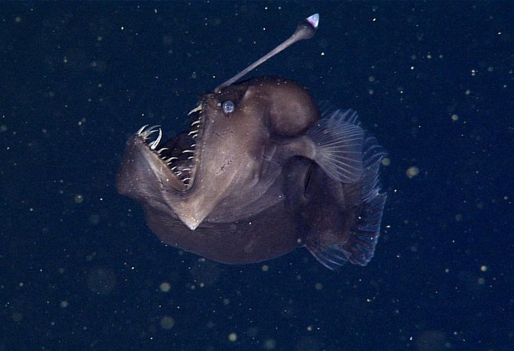 Rare Black Sea Devil Caught on Film for the First Time - A rare deep-sea anglerfish off of the coast of California about 1,900 feet below the ocean's surface.