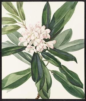 From the collection at Andersen Horticultural Library. Agnes Williams (1860-1946), a watercolorist from Bucks Co., PA, created a wildflower portfolio during the 1880s and 1890s. Emma painted Rhododendron maximum (Great Laurel) in Centre Bridge, PA It is dated June 25, 1885.