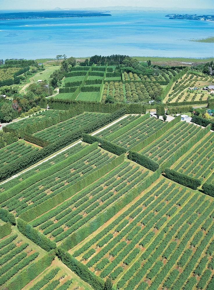 Kiwifruit orchards, Bay Of Plenty, New Zealand