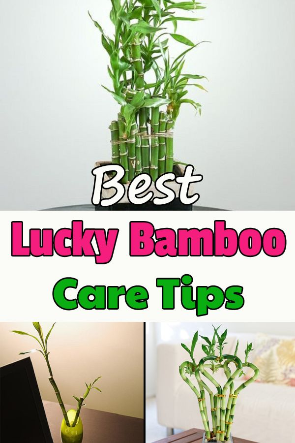 How To Grow Lucky Bamboo Indoors Lucky Bamboo Plants Lucky