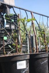 Посадка малины осенью или весной, пересадка, уход за саженцами - Садоводка