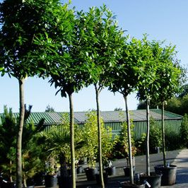 The 25 Best Ideas About Leylandii Hedge On Pinterest