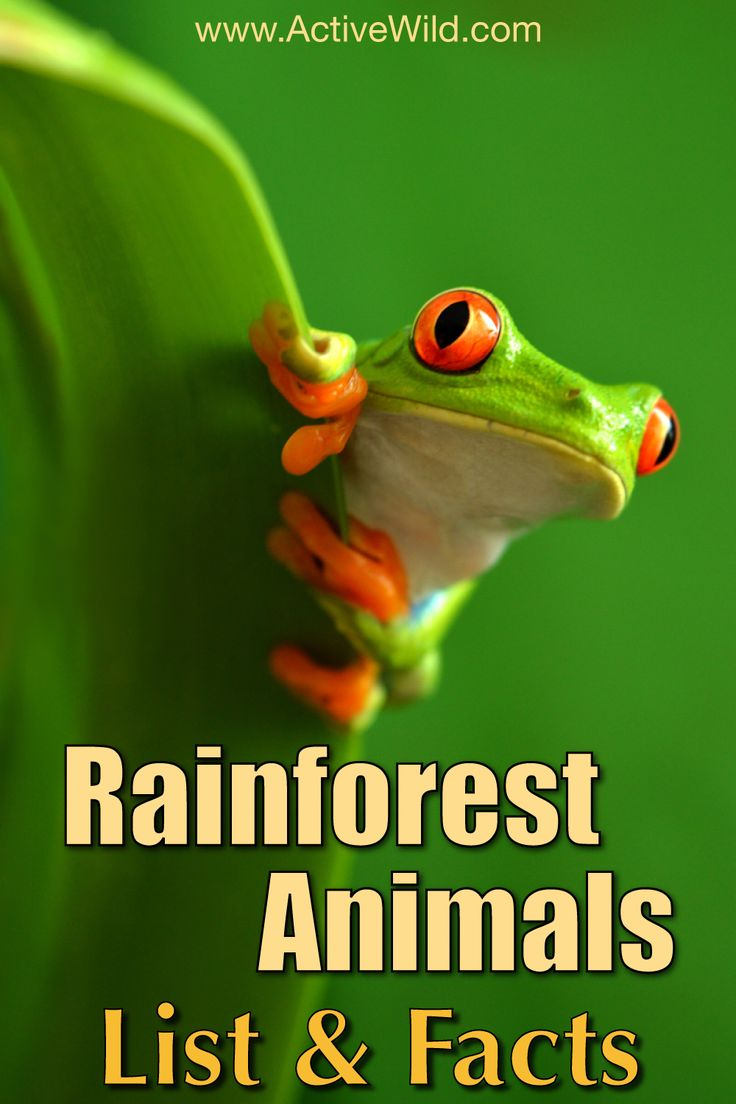 A list of incredible rainforest animals. Some are beautiful, some are deadly, some are downright strange, but all are amazing!