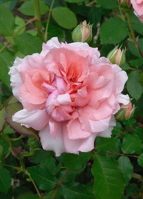 Beautiful Pink Rose                    Antoine de Caunes | Flickr - Photo Sharing!