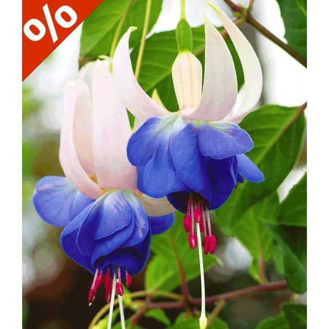 Winterharte Fuchsie 'Blue Sarah', 3 Pflanzen - BALDUR-Garten GmbH