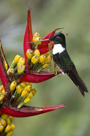 Collared Inca Hummingbird in Mindo Cloud Forest in Pichincha in northern Ecuador