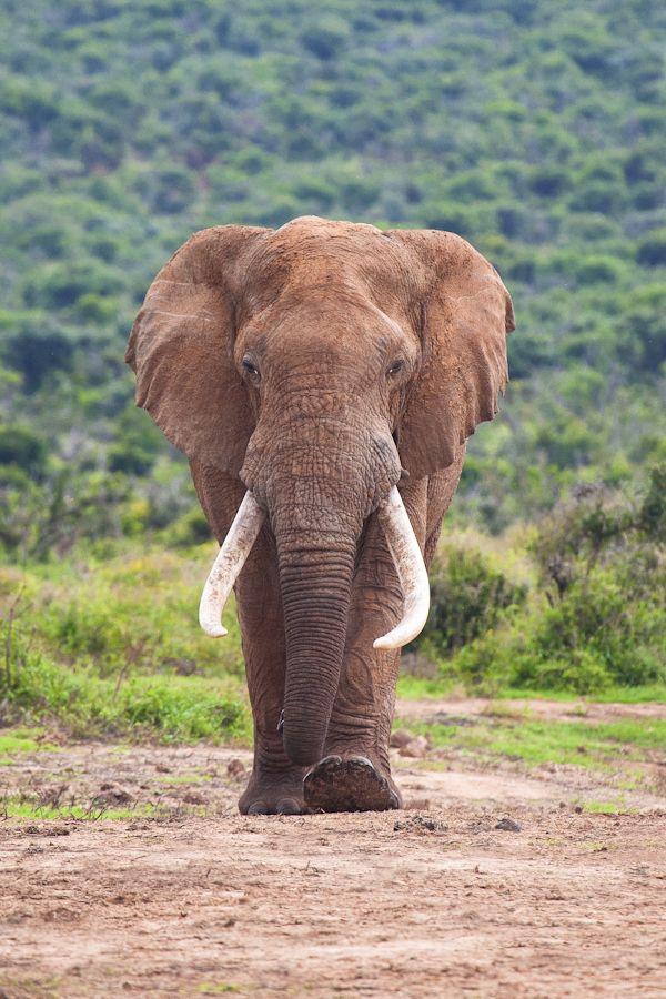 Large Elephant Bull, Addo Elephant National Park, South Africa