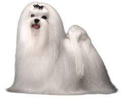 Top 50 Most Popular Dog Breeds in the United States – #Maltese