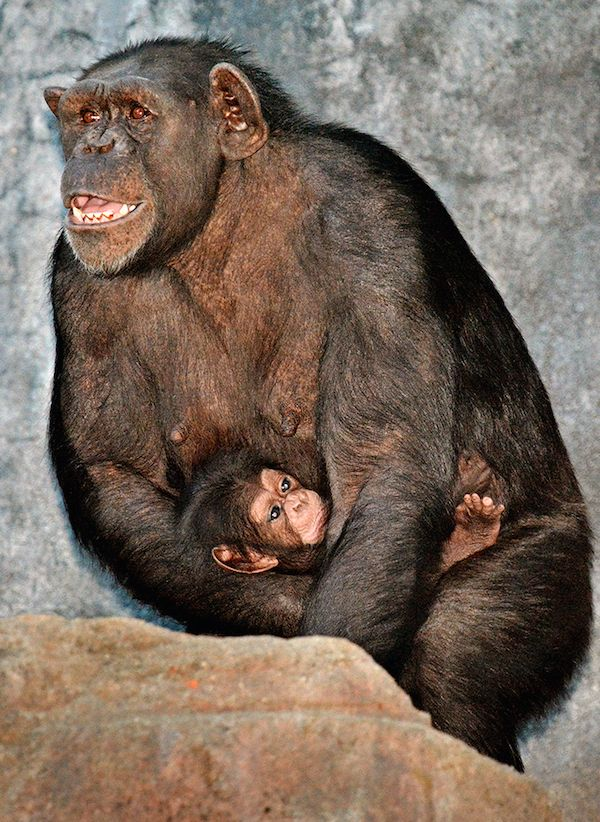 La scimpanzé Zoe con il suo cucciolo Johari allo zoo di Los Angeles (AP Photo/Los Angeles Zoo, Tad Motoyama) - Il Post