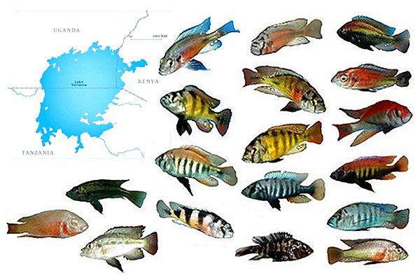 Картинки по запросу цихлиды озера виктория