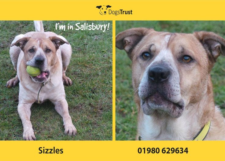 Sizzles is a 5 year old Cross breed at Dogs Trust Salisbury. He is cracking looking boy that is ready to start his new life in an active, fun home. He enjoys his walks and playing with toys. Sizzles is good with his food and very gentle with his toys. Sizzles can be a little worried by new people at first and he is an anxious boy so a calm, rural environment is essential for him.