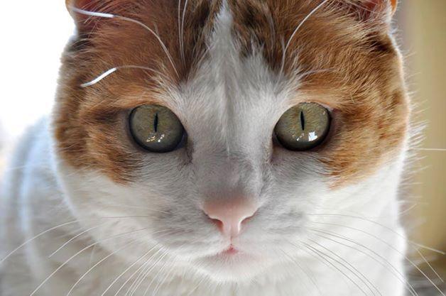 Lety, gato en adopción en Madrid (España) cpa.torrejon@hoope.org