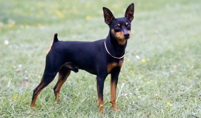 Mostly trueMiniature Pinschers are not mini dobermans. They were bred by mixing italian greyhounds and dachshunds.