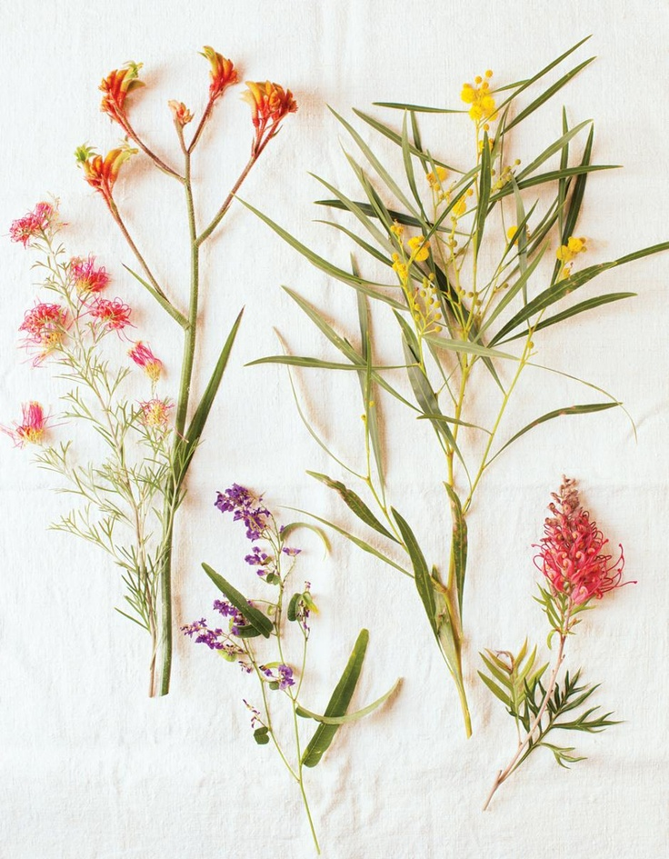 Australian Plants. Grevillea, Anigozanthos, Hardenbergia and Acacia.