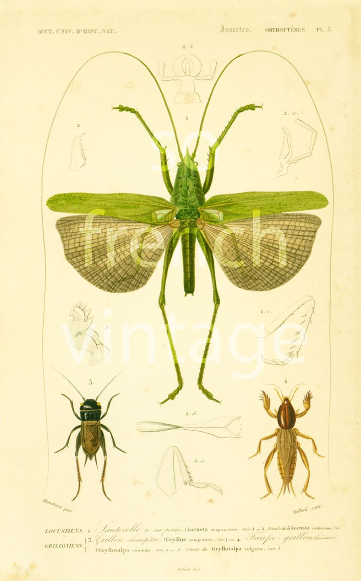 1861 Sauterelle et grillon Champetre, gravure ancienne Orbigny Original  Histoire Naturelle Lithographie entomologie sauterelle de la boutique sofrenchvintage sur Etsy