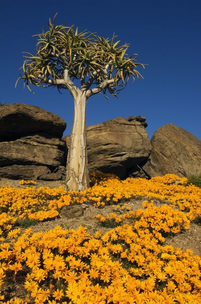 Quiver tree (Aloe dichotoma) & flowering daisies in spring, Namaqualand. Photography by Ariadne Van Zandbergen