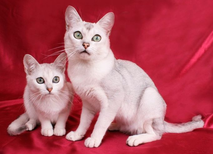 Gatos Burmilla: conheça a origem, características e comportamento deste felino recente.