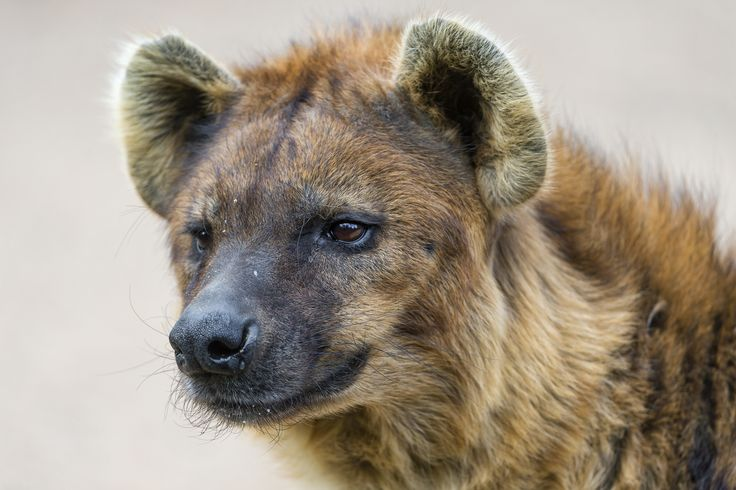 The 962 Best Hyena Images On Pinterest Hyena Animales And Animaux