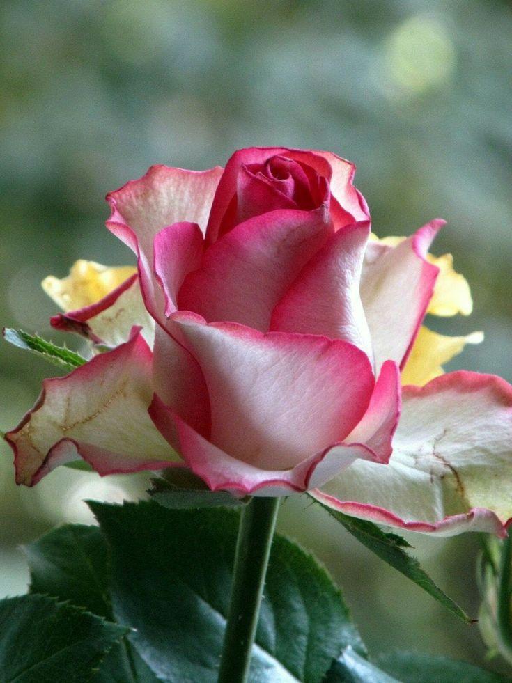 Анимашка картинка роза