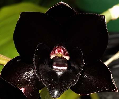 best black flowers images on, Beautiful flower