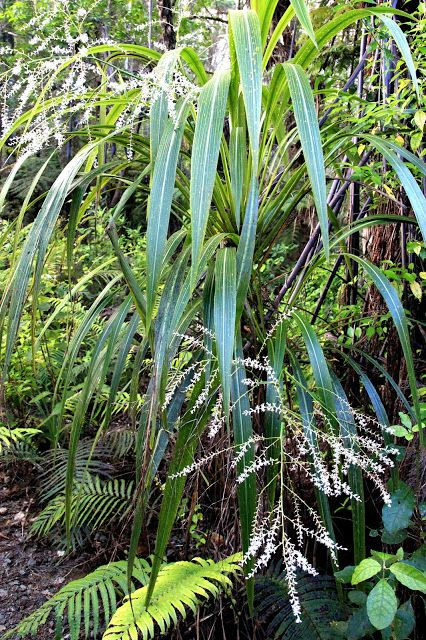 Bushmansfriend : Cordyline banksii - ti ngahere - forest cabbage tree