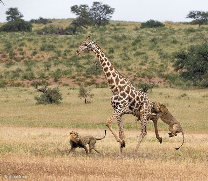 Michael Cohen | Two male lions hunting giraffes : natureismetal