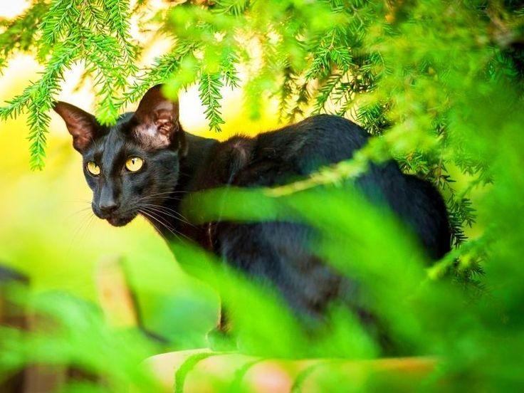 Ориентальная кошка (фото): восточная красавица в вашем доме - http://kot-pes.com/orientalnaya-koshka-foto-vostochnaya-krasavica-v-vashem-dome/