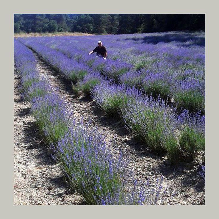 Λεβάντα αιθέριο έλαιο - βιολογική καλλιέργεια από Χαλκιδική. Εξαιρετικό άρωμα και θεραπευτική δράση.