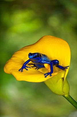 Wow, love this colors, yello calla lilly and cobalt blue small frog