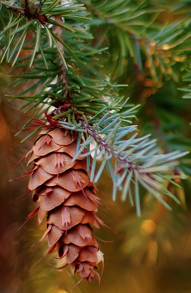 Beautiful pine cone