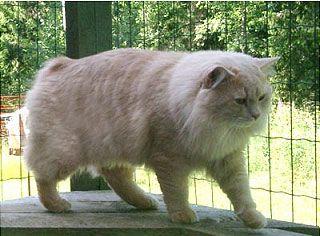 Cymric cat in Finland