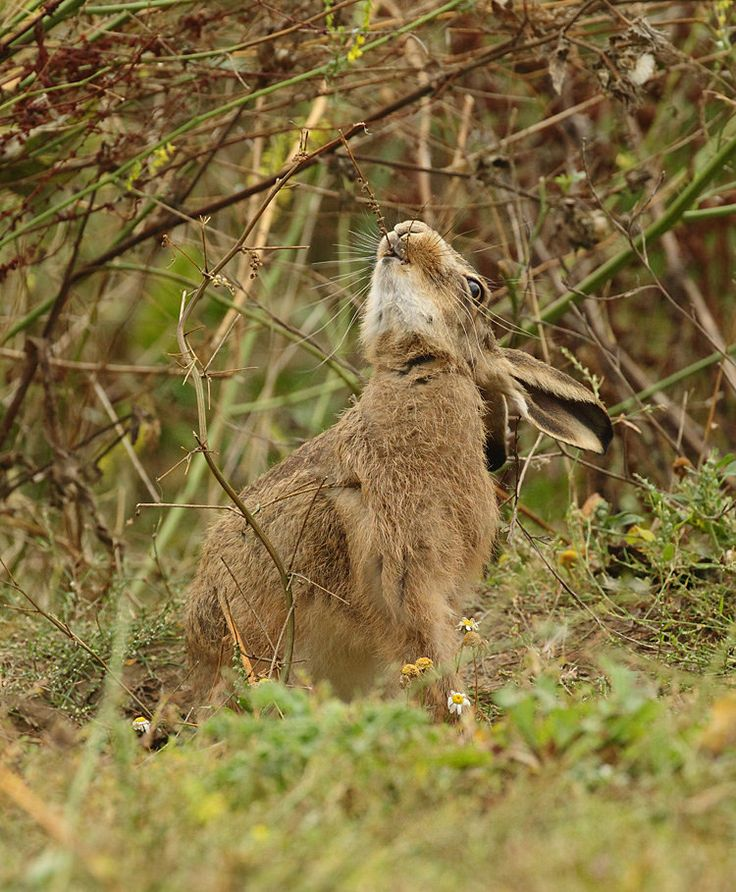Brown Hare eating seeds, foggy September morning Suffolk. Lepus europaeus