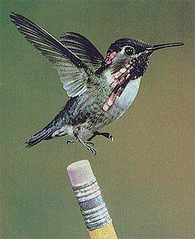 Bee hummingbird, smallest bird in the world.