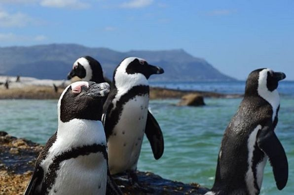 "Check out more sweet pics like these, who made them, and the stories behind them: instagram.com/capetownmag. Are you on Instagram? Tag one of your great pics with#CapeTownMag and we might just feature your image. The picture of the week for the winning #capetownmag feature!   ""'Just pout not smile boys, pout not smile' Had a fantastic day swimming with and around these penguins today. =)""  featuring @terrencemkh ."