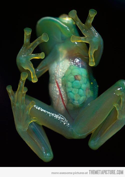 Amazing Transparent Frog