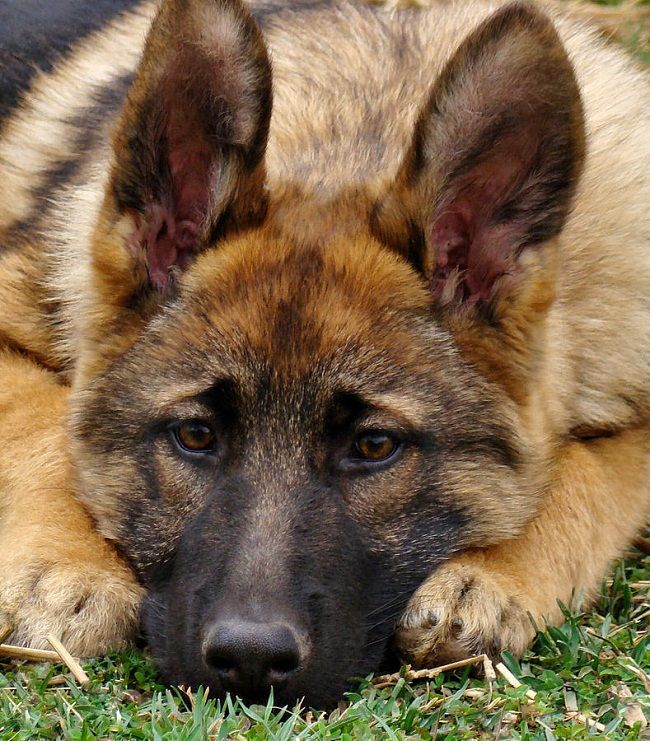 cheap german shepherd puppies best 25 cheap puppies for sale ideas on pinterest cheap 7560