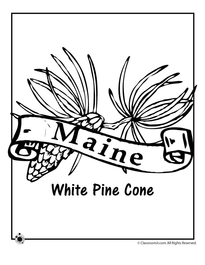 Maine State Flower Coloring Page Clroom Jr