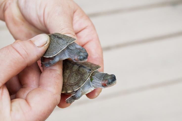 v Zoo Praha se vylíhlo 11 mláďat chovatelsky mimořádně náročné želvy Smithovy.