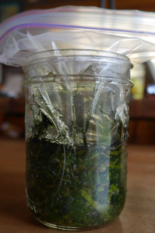 This nettle ferment has been fermenting for 2 days under a water-filled bag for weight. It is looking good, notice the color of the nettles darkening.