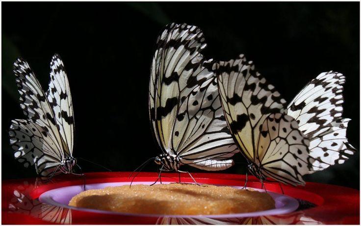 White Butterflies Wallpaper | black and white butterflies wallpaper, new england butterflies white wallpaper