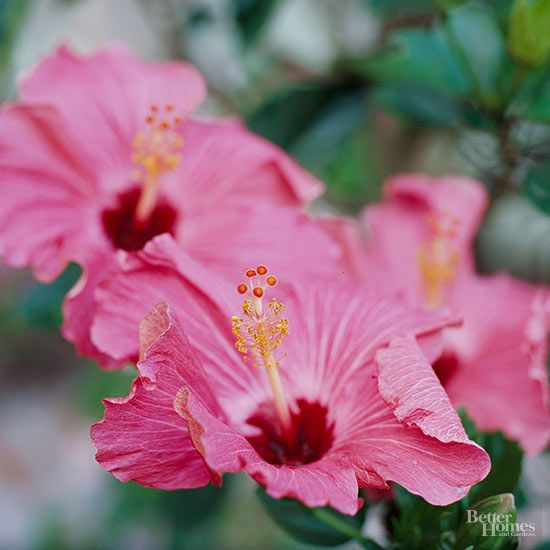 The amount and timing of pruning for your hibiscus depends on what kind of hibiscus it is, and where you live.