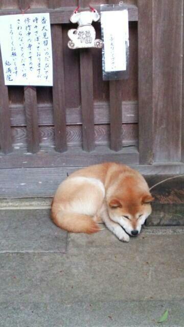 長谷寺で修行中の柴犬君です。 どきどき修行をサボって居眠りするとかいてありました