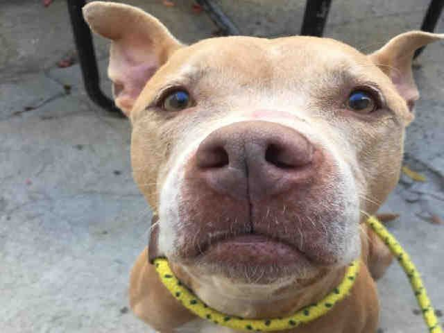 GLORY - A1095721 - - Manhattan  Please Share:TO BE DESTROYED 11/17/16 **NEW HOPE RESCUE ONLY** -  Click for info & Current Status: http://nycdogs.urgentpodr.org/glory-a1095721/