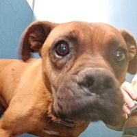 Pictures of Pipin a Boxer for adoption in Henderson, NC who needs a loving home.