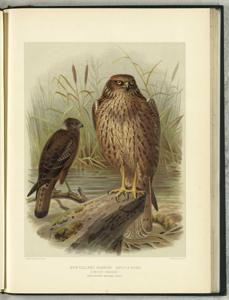 NZ Harrier (adult & young) by JG Keulemans (from Walter Buller's 'A History of The Birds of New Zealand' - 1870's)