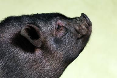 How Long Do Pot Bellied Pigs Live?: Profile of a black pot bellied pig